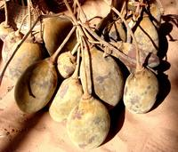 Fruits de baobab dont on fait le jus de bouye © Cirad, D. Depommier